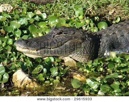 Gator Lurking in Swamp