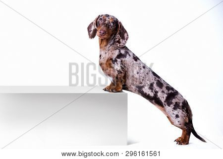poster of Dog dachshund with blank billboard. Dog above banner or sign. Dachshund dog portrait over white back