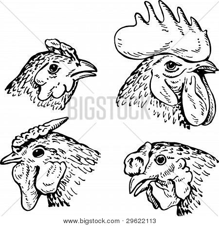 Heads of hens and cock