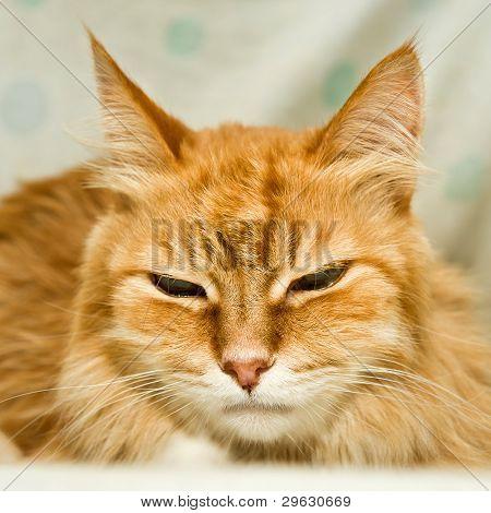 Gato rojo con grandes aletas se parece a un tigre