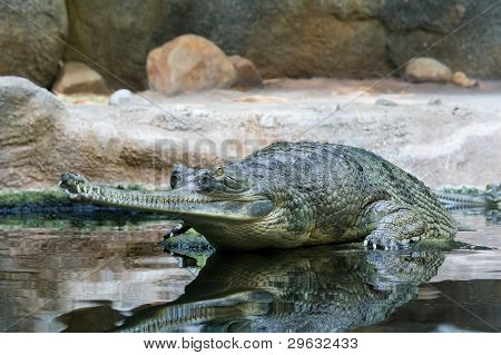 Waiting Gavial