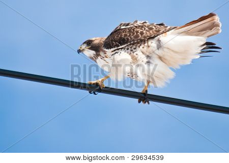 Red-tailed Hawk Perched On Wire