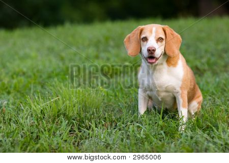 Cute Beagle Watching You
