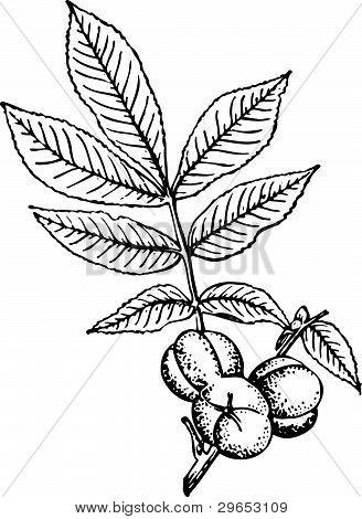 Plant - hickory
