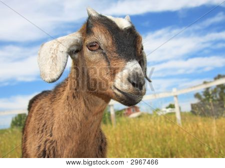 Young Kinder Goat