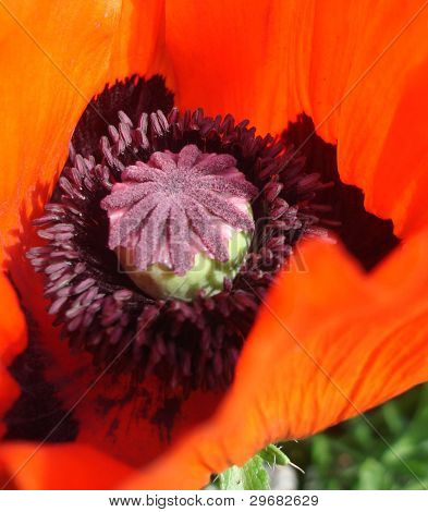 Middle of red poppy