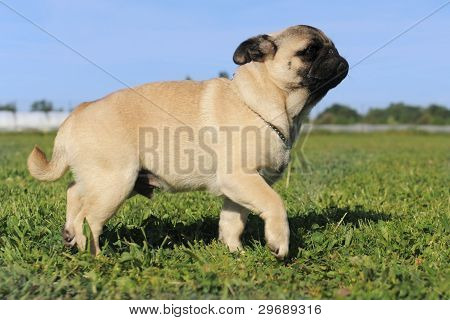 Walking Baby Pug