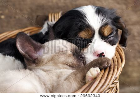 spaniel  puppy and kitten
