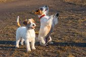 Purebred Jack Russel Terrier Two Dog Outdoors In The Nature On Grass Park Spring Day. Performs Trick poster