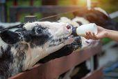 Calf Feeding, Baby Cow Feeding On Milk Bottle By Hand Of Woman, Dairy Farm. poster