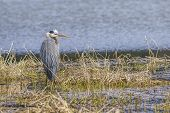 Great Blue Heron In North Idaho. A Large Great Blue Heron Stands In A Marsh Area In Hauser, Idaho. poster