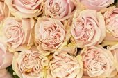 Background Of Pink Orange And Peach Roses. Fresh Pink Roses. A Huge Bouquet Of Flowers. The Best Gif poster