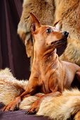 stock photo of miniature pinscher  - The Miniature Pinscher  - JPG