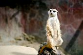 Meerkat Posing, Looking At Viewer. Fuzzy Background. poster