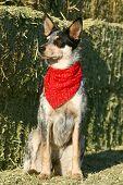 foto of blue heeler  - Blue Heeler puppy sporting a red bandana on hay bales - JPG