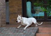 Guard Argentino Dog Before Jumping Or Attack In Front Of The House poster