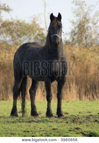 Nice Baroc Horse