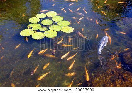 Koi Carp Swimming In Shallow Pool