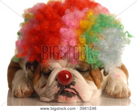 Bulldog With Clown Wig And Nose
