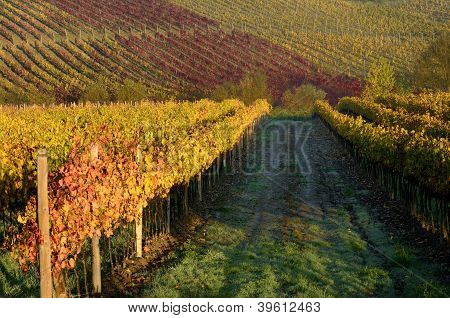 Vineyards in autumn