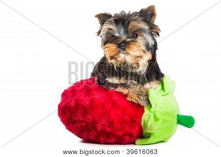 Yorkshire Terrier With Pink Bow And Red Velvet Strawberry On Isolated White