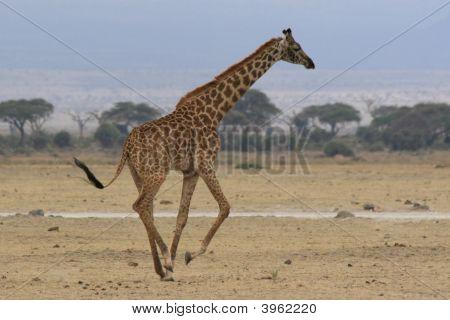 Wild Giraffe running in Africa