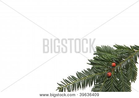 Branch Of A Yew On White Background