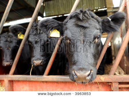 Calf Through Fence