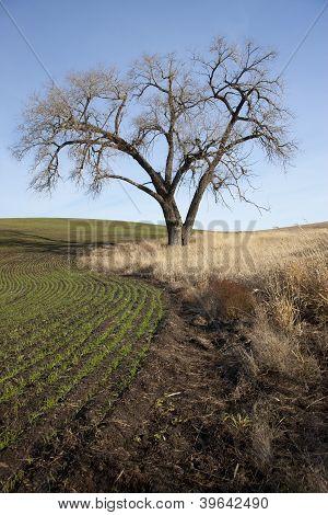 Old Tree By Farm Field.