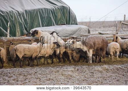 Sheep At The Trough.