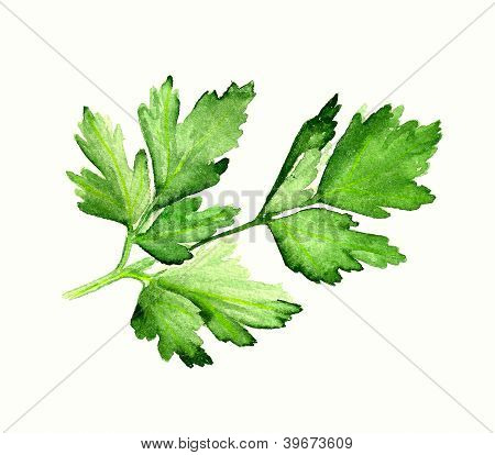 Watercolor Parsley