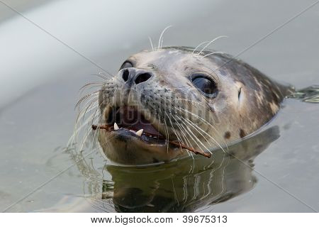 Close-up Of A Grey Seal