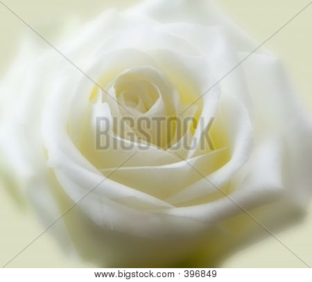 Soft Cream Rose Background