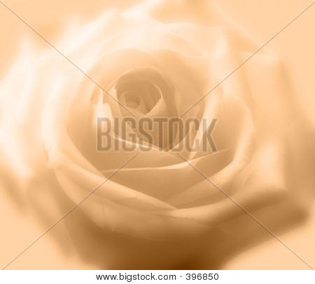 Soft Peach Rose Background