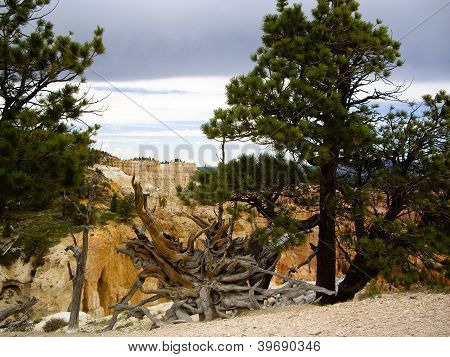 Uprooted Tree At Bryce Canyon