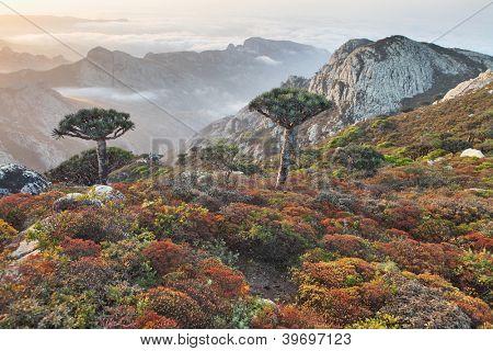 Dragon trees - Dracaena cinnabari - Dragon's blood - endemic tree from Soqotra, Yemen