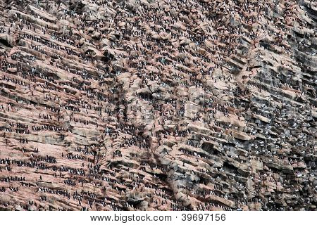 Rookery on basalt rocks �¢�?�? colony of birds on Arctic rocks