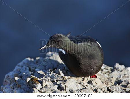 Black guillemot or cepphus grylle on the rock