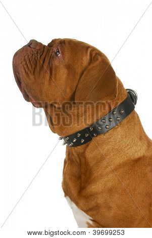 dogue de bordeaux wearing spiked collar isolated on white background