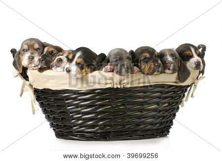 basket of puppies - litter of basset hound puppies - 3 weeks old
