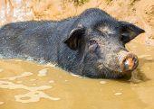 foto of pot bellied pig  - vietnam pig - JPG