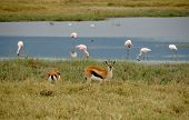 Thomson'S Gazelles And Pink Flamingos Into The Ngorongoro