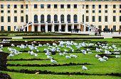 image of sissi  - Pigeons in front of Schoenbrunn Castle - JPG