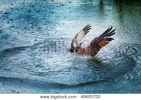 Osprey Rising From Water With Spread Wings