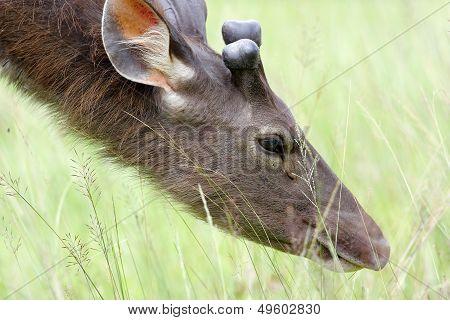 The Male Deer