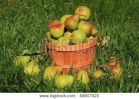 Harvested Pears.