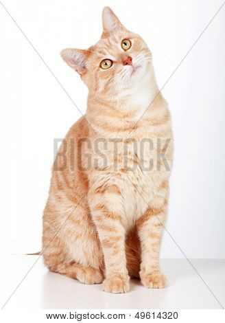 Red tabby cat isolated on white background.