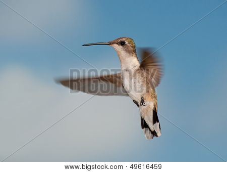 Female Ruby-throated Hummingbird in flight, looking at the viewer, against partly cloudy sky