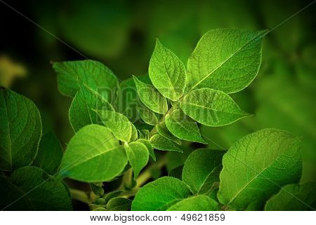 New potato Leafs - Agriculture and organic food