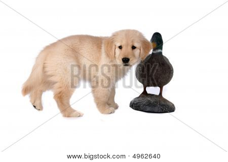 Small Tan Puppy Next To Duck Decoy